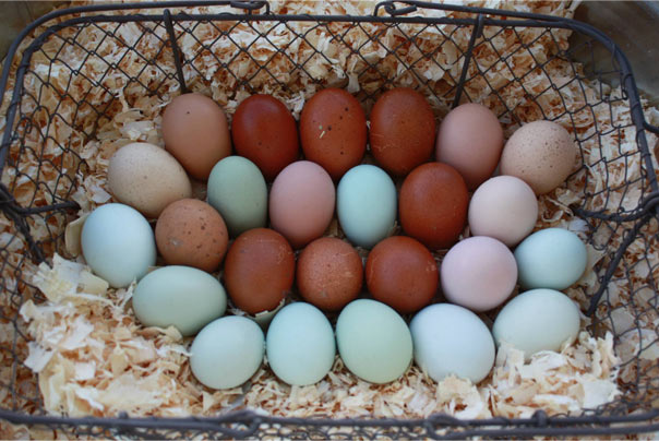 Kaliko Farms' unique multicolored non-gmo eggs