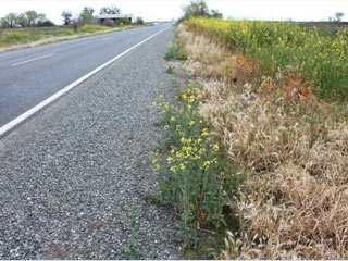 GM Canola, herbicide resistant weed in California