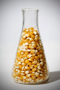 GM corn threatens food supply