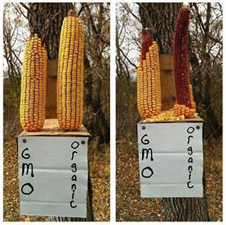 Squirrels preferred organic over GMO corn