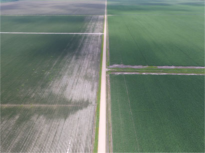 Dicamba herbicide drift damaged soybean field next to dicamba-tolerant soybean field