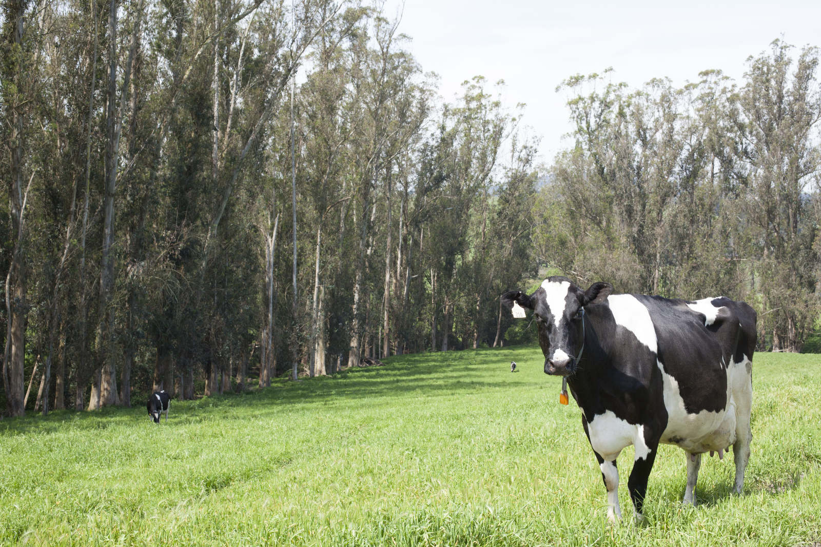 Clover Stornetta California dairy logo