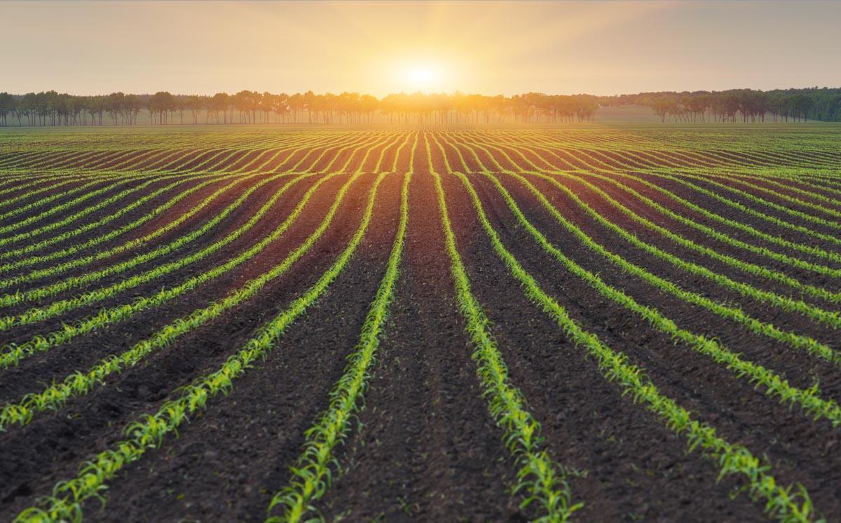Non-gmo corn agricultural field