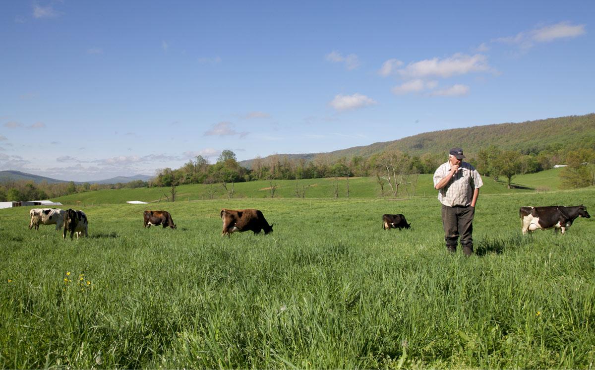 Non-gmo dairy cow field