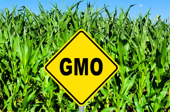 Environmental hazards of gm foods and crops