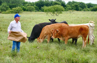 Farmer feeding cows non-gmo animal feed