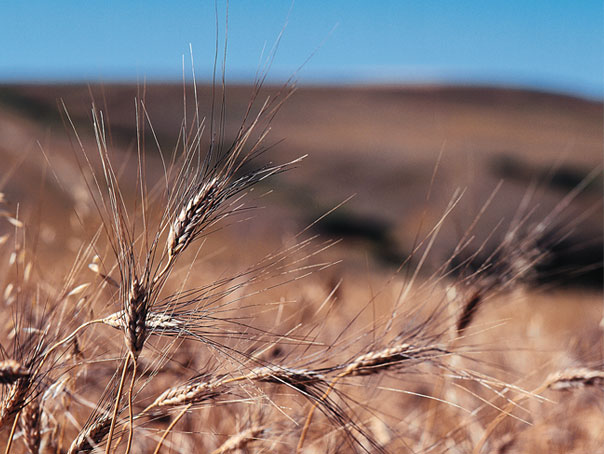 Organic food companies collaborating to increase organic grain supply