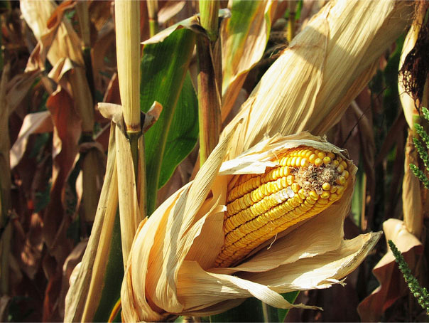 Vermont corn trials highlight better non-GMO yields, crop