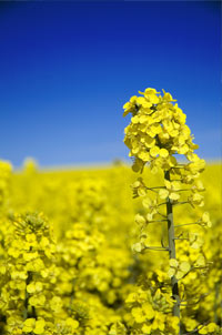 Genetically modified canola plant in Oregon
