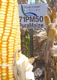 Corn prevents gmo contamination