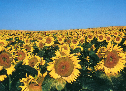 Non-gmo sunflowers for sunflower oil and lecithin