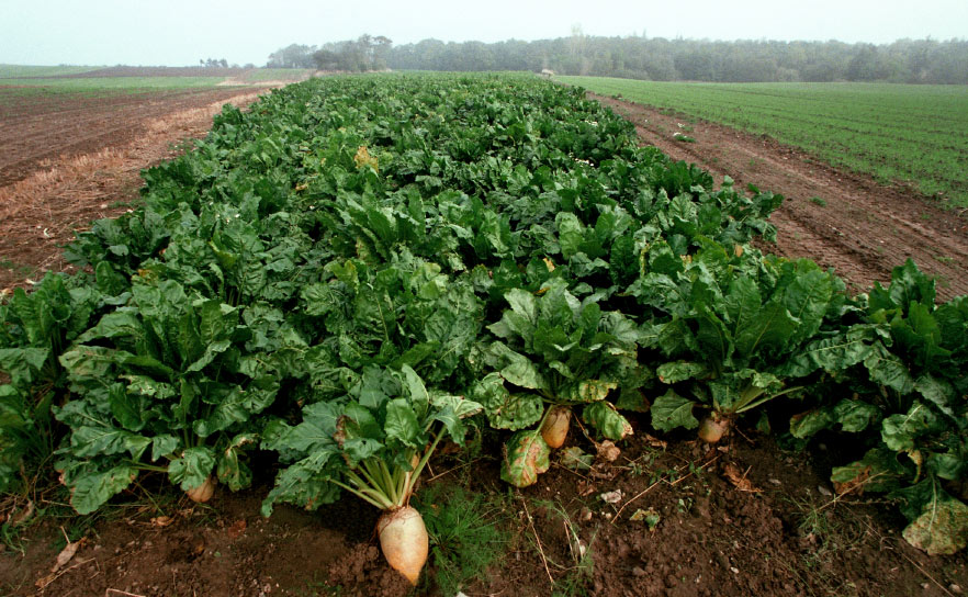 GM sugar beets alternative