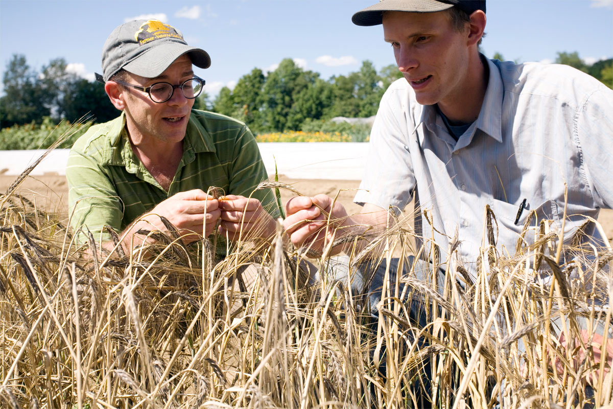 Clif Bar and organic plant breeder inspect organic wheat