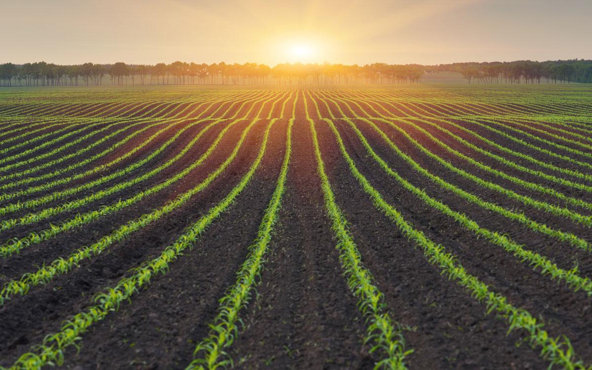 Field for non-gmo corn production