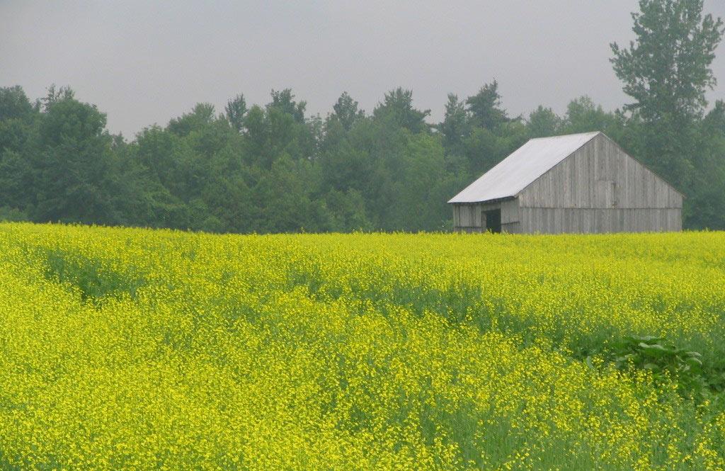 non-gmo canola field in Vermont