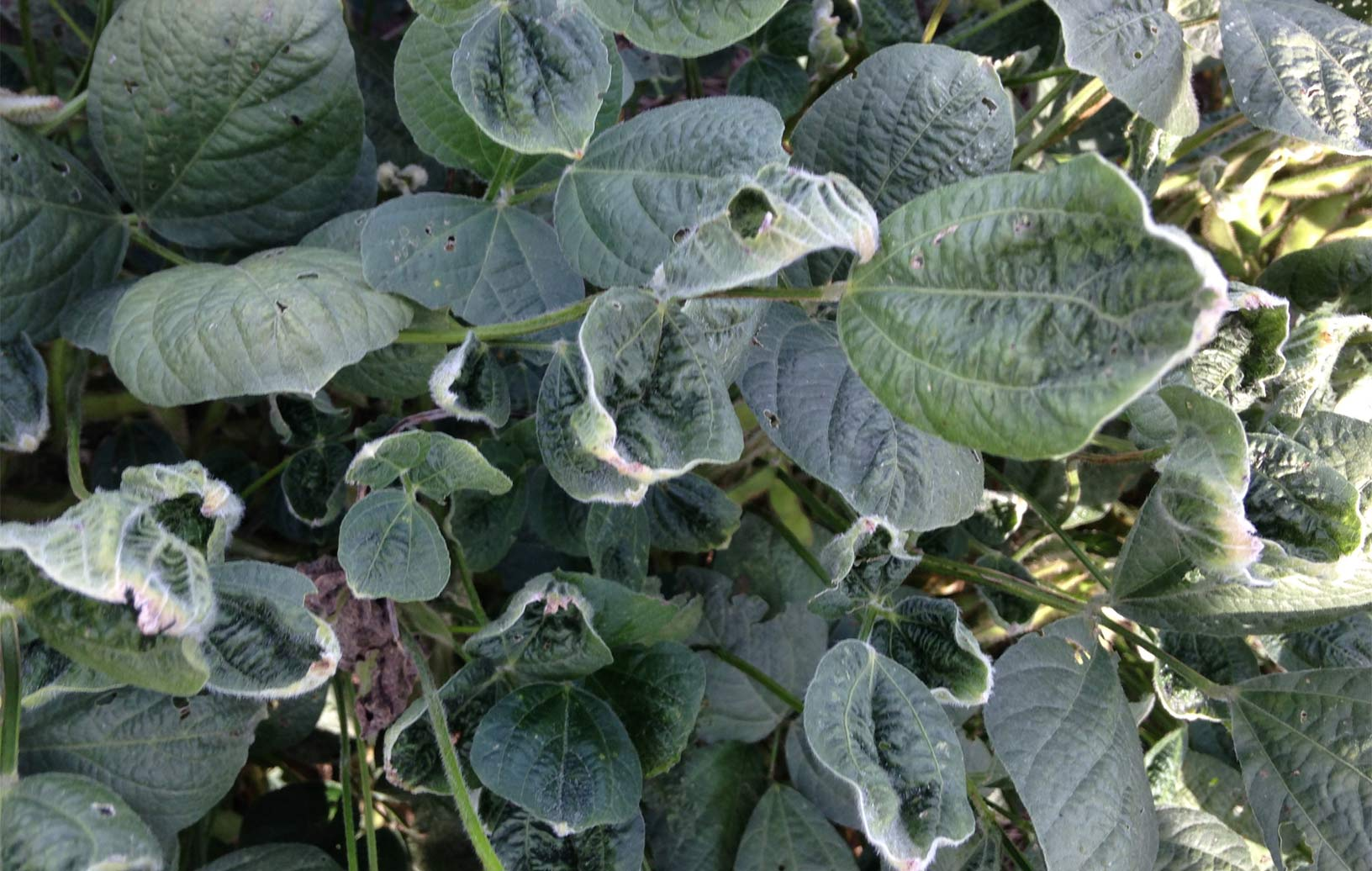 Dicamba damaged soybean leaves