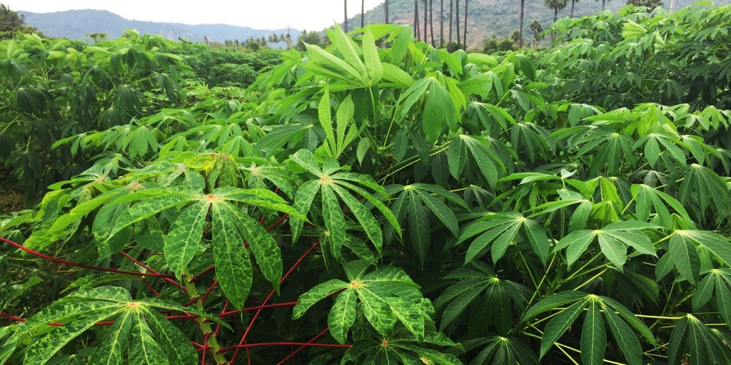 Diseased and healthy cassava plants
