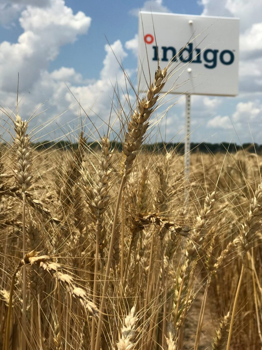 Indigo sign & Indigo Wheat