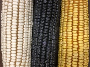 White, blue and yellow corn