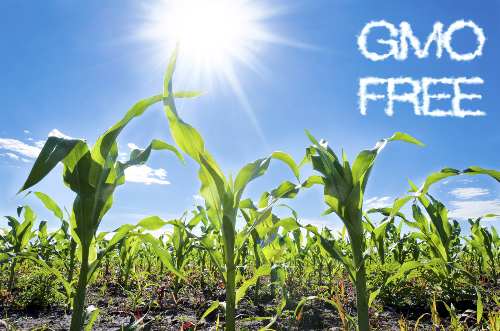GMO Free and corn in field