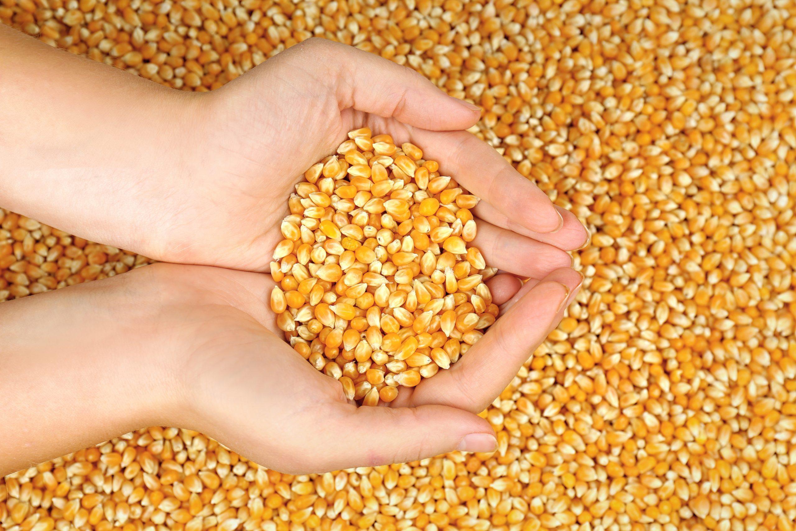 Hand holding corn seeds