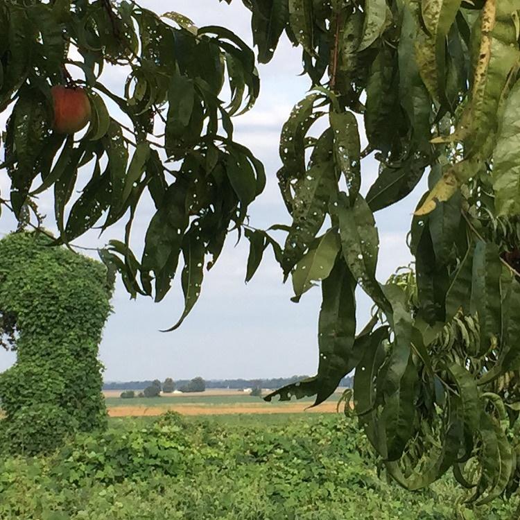 Peach trees damaged by dicamba drift