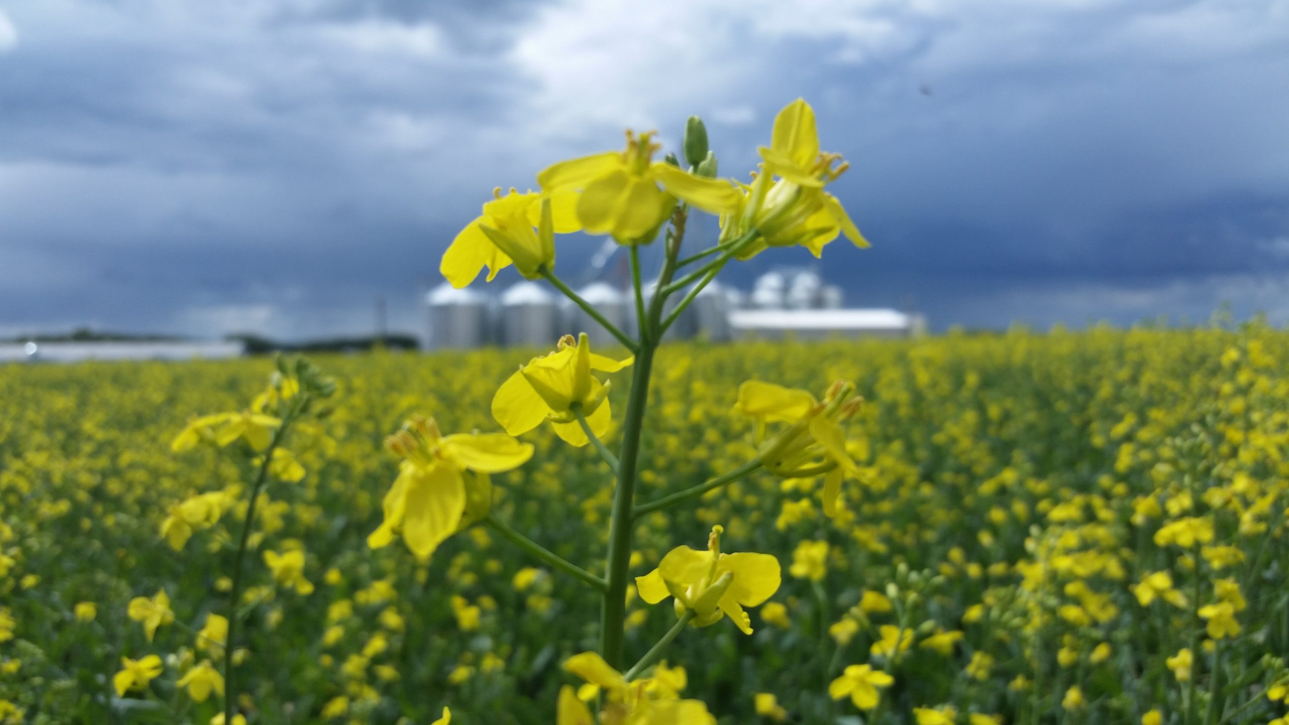 Flowering canola plant in field