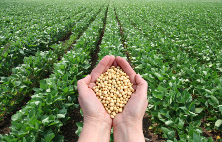 Human hand holding soybean in field