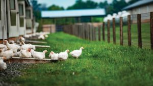Bell & Evans's organic chickens