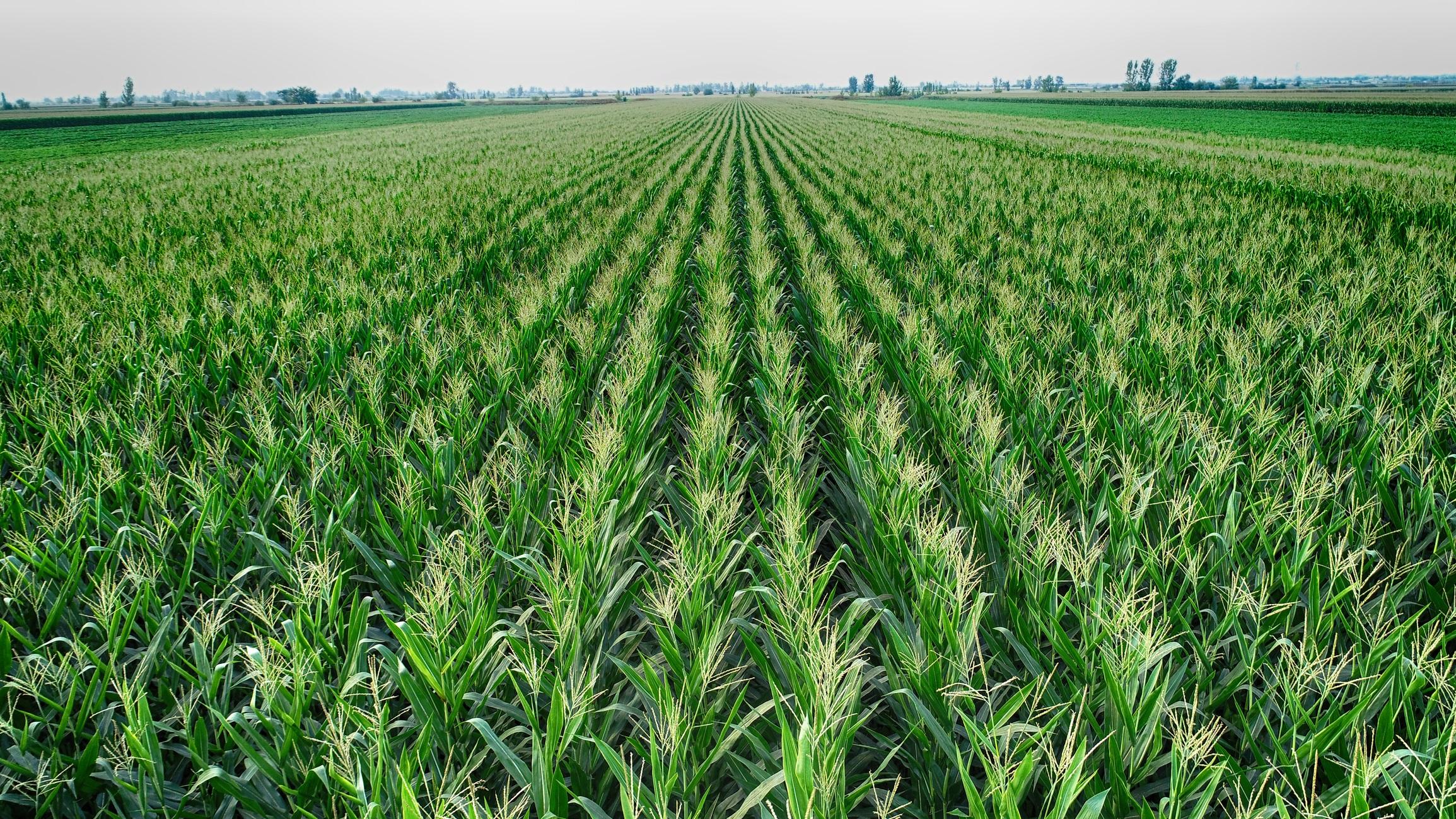 Photo of organic corn field