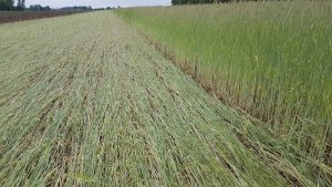 Roller crimped rye cover crop in no-till organic field